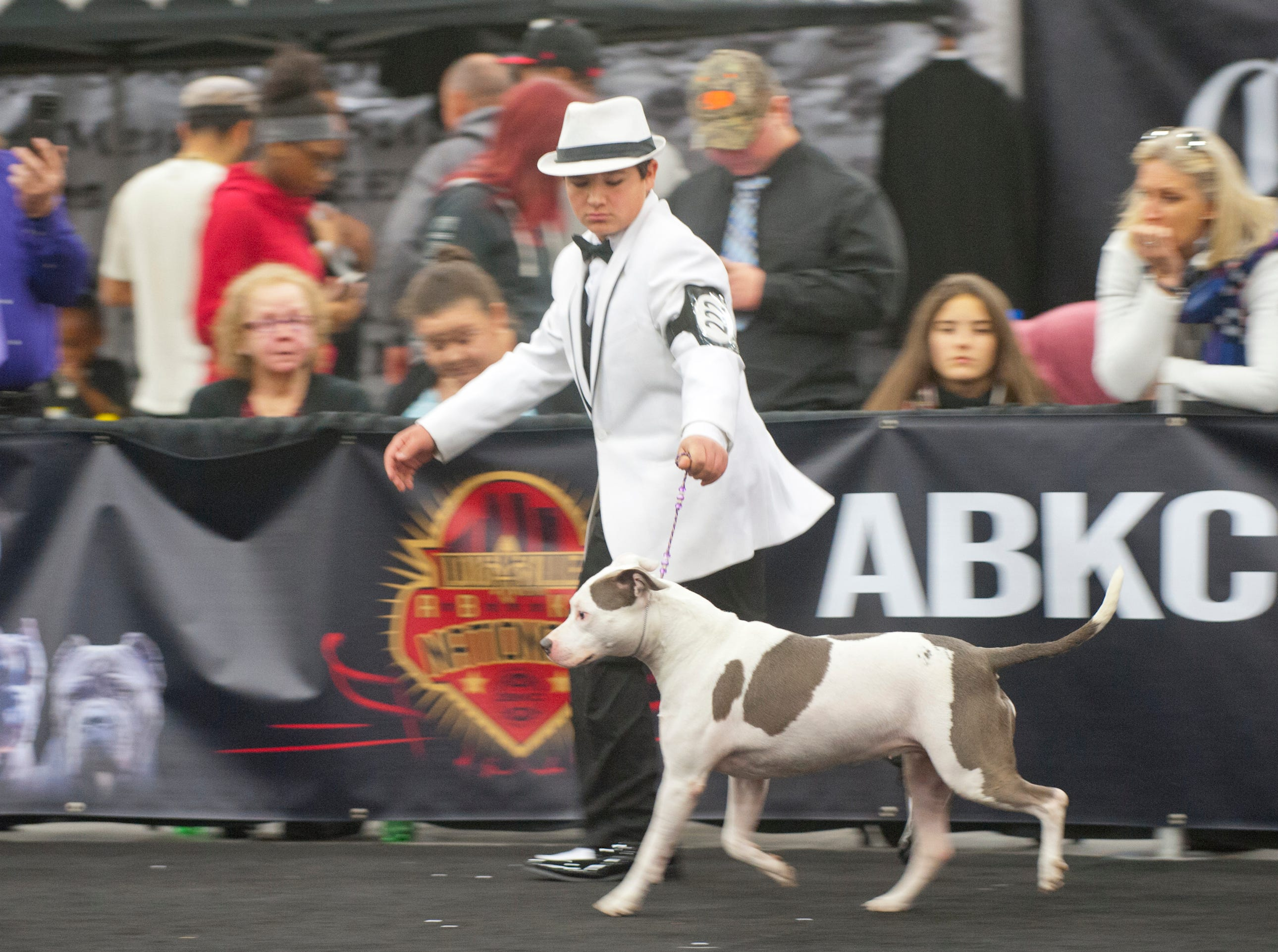"""Junior Handler Logan Jones parades Grand Champion Karma around the ring during the 2018 American Bully Kennel Club's 12th annual confirmation event at the Kentucky Convention Center in Louisville. Karma is a """"rescued"""" dog. Jones is the nation's best junior handler, accumulating over 3,500 points for his wins.November 10, 2018"""