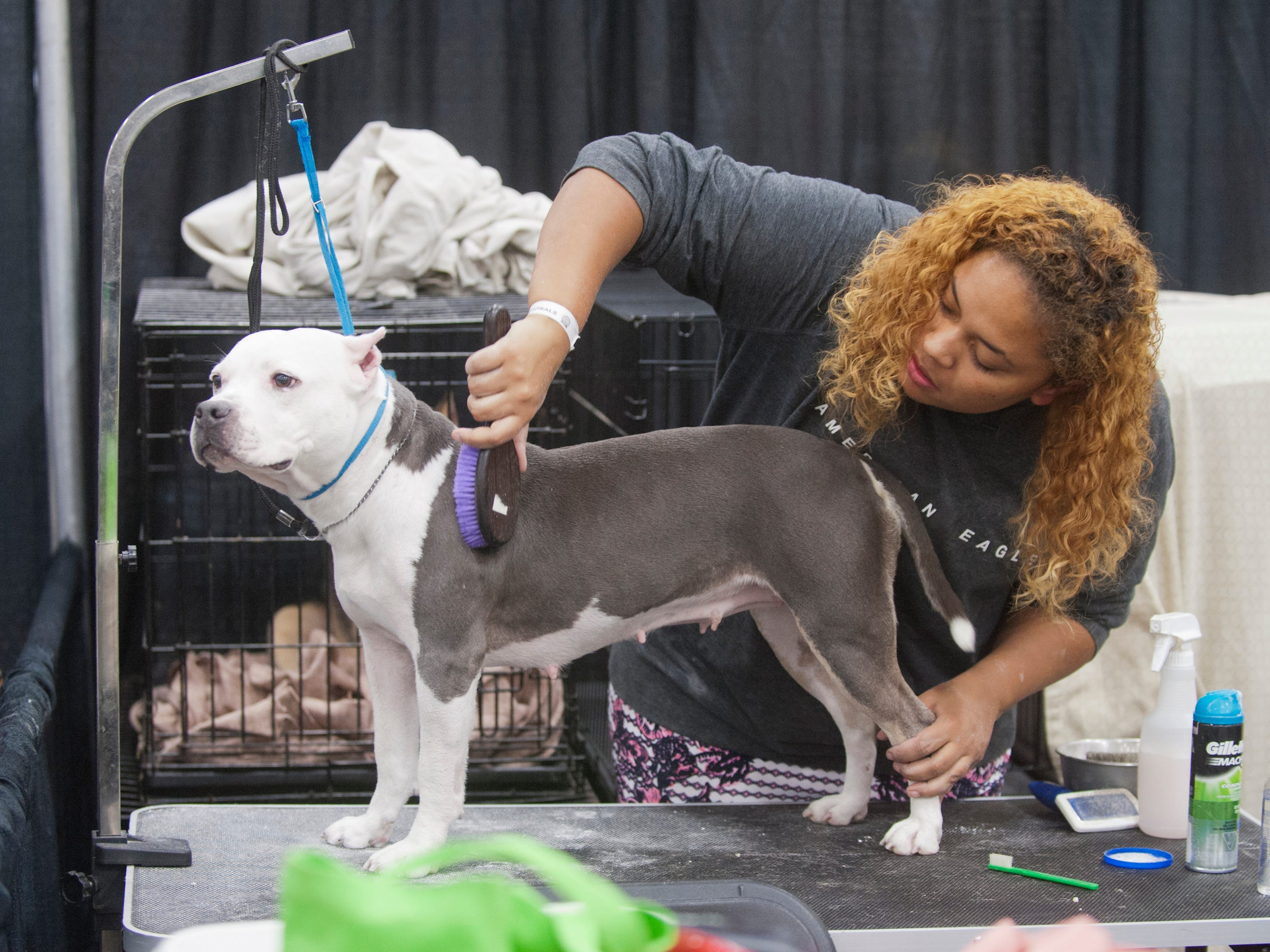 Golden Glove Kennels' Morgan Barrick of Vine Grove, Ky., owner and handler of grand champion Trouble, grooms the dog at the 2018 American Bully Kennel Club's 12th annual confirmation event at the Kentucky Convention Center in Louisville. November 10, 2018