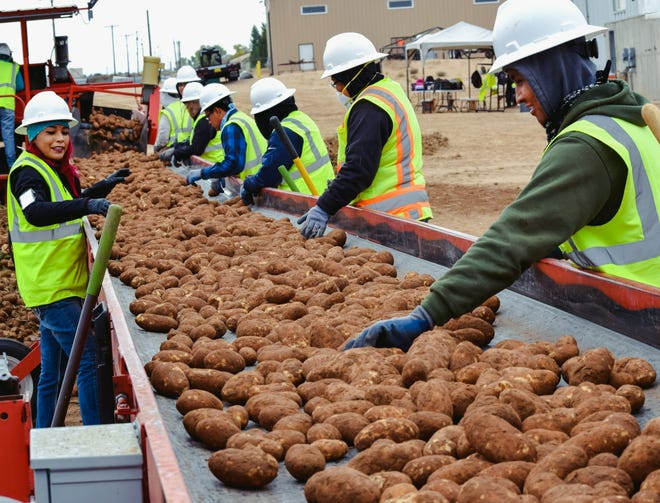 Navajo Agricultural Products Industry employees sort potatoes during the harvest. Approximately 5,000 semi-truck loads of potatoes will leave the Four Corners region for market between November and March.