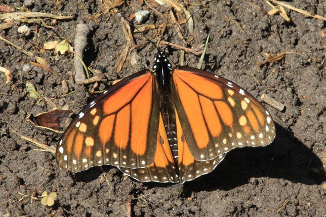The best time to seen Monarch Butterflies in West Texas is October, during their annual migration south.