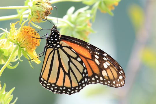 Monarch Butterflies feed using a long, almost threadlike appendage known as a proboscis.