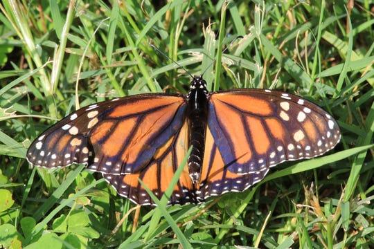 Monarch Butterflies are poisonous but beautiful.
