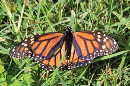 Monarch Butterflies are poisonous but beautiful.