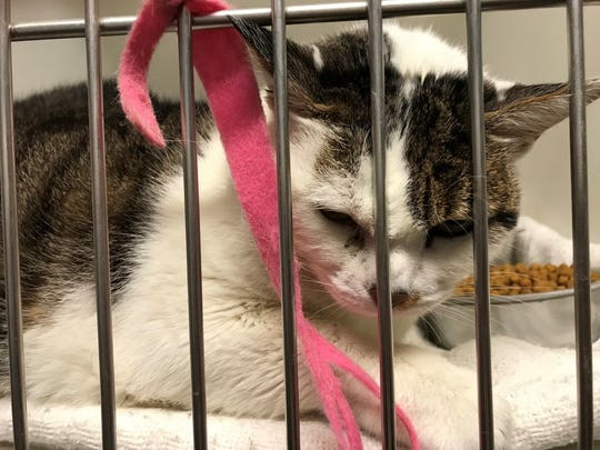Hi Tor Animal Care Center placed some cats that have been in the shelter for years in the reception area. The nonprofit, which serves Rockland, is amid controversy.
