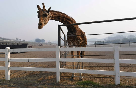 Stanley the Giraffe, one of several exotic animals at Saddlerock Ranch, in Malibu, California is shrouded in smoke in the aftermath of the Woosley Fire on Nov 10, 2018. The animals on the ranch survived, but several buildings on the property we destroyed or damaged by the fire.