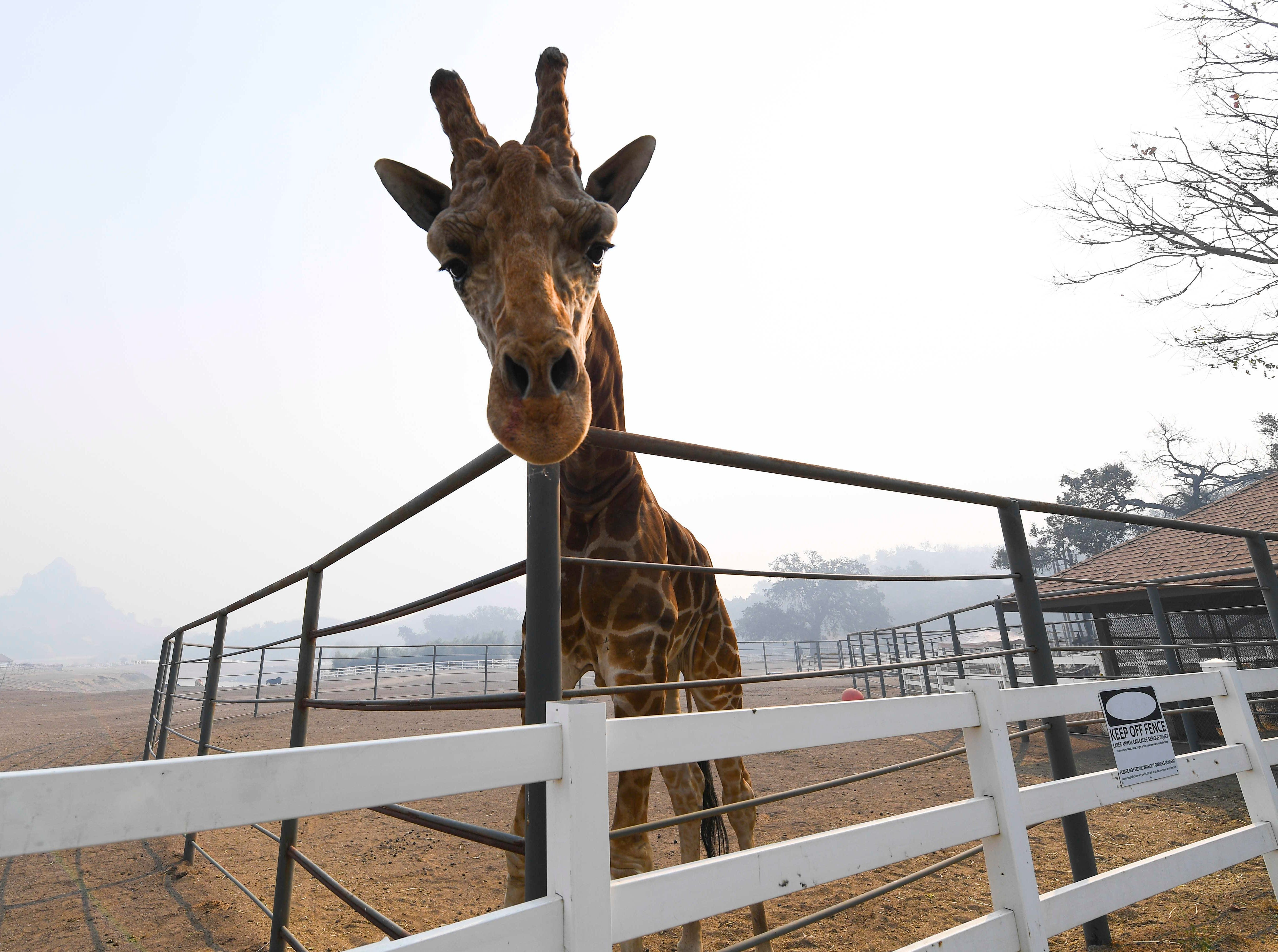 Stanley the Giraffe, one of several exotic animals at Saddlerock Ranch in Malibu, Califronia, is shrouded in smoke in the aftermath of the Woosley Fire on Nov 10, 2018. The animals on the ranch survived, but several buildings on the property we destroyed or damaged by the fire.
