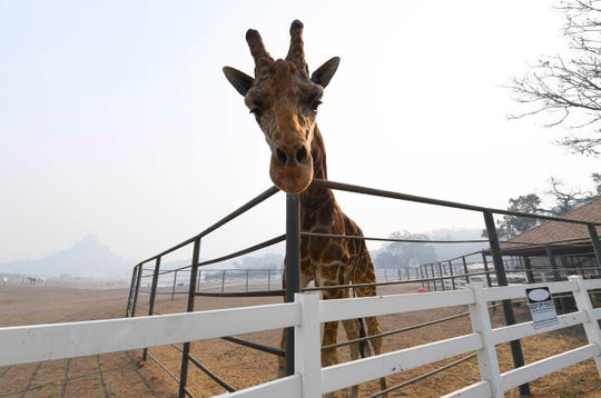 Stanley the Giraffe, one of several exotic animals at Saddlerock Ranch in Malibu, California, s shrouded in smoke in the aftermath of the Woosley Fire on Nov 10, 2018. The animals on the ranch survived, but several buildings on the property we destroyed or damaged by the fire.