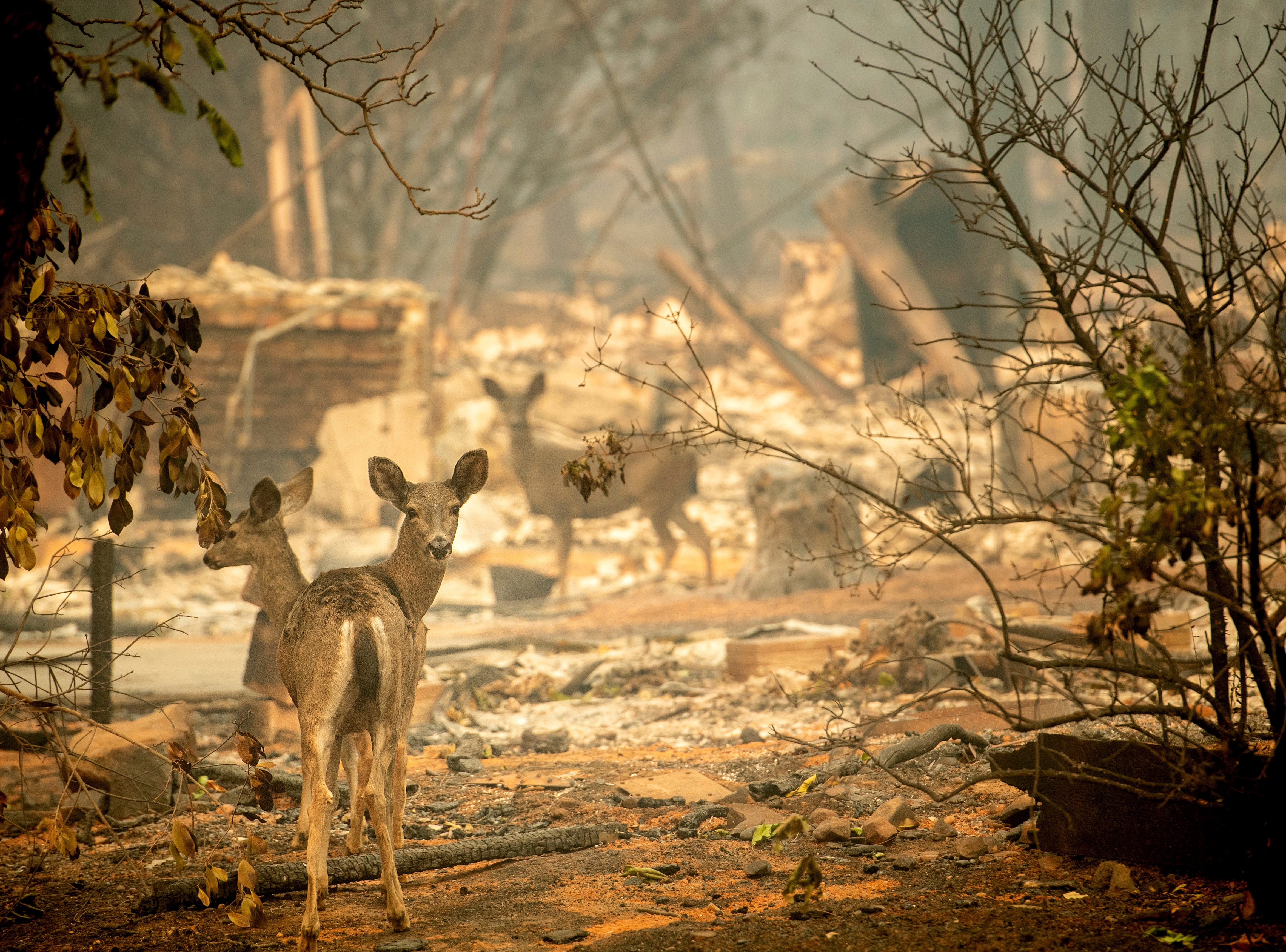 Deer walk past a gutted home in Paradise, Calif., on Saturday, Nov. 10, 2018. A ferocious wildfire consumed entire neighborhoods in the Northern California town as residents fled.