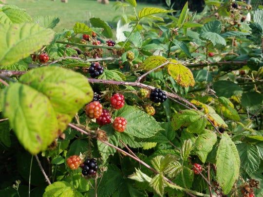 Blackberry bushes outside Mussidan.