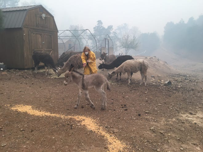 Volunteer Lori Finch on Nov. 10, 2018 greets a baby donkey on a farm in an area that was evacuated because of the Camp Fire. Finch was able to provide the donkey, several goats, pigs and llamas food and water.