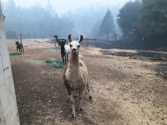 A llama is eager to greet rescuers Saturday, Nov. 9, 2018 from North Valley Animal Disaster Group.