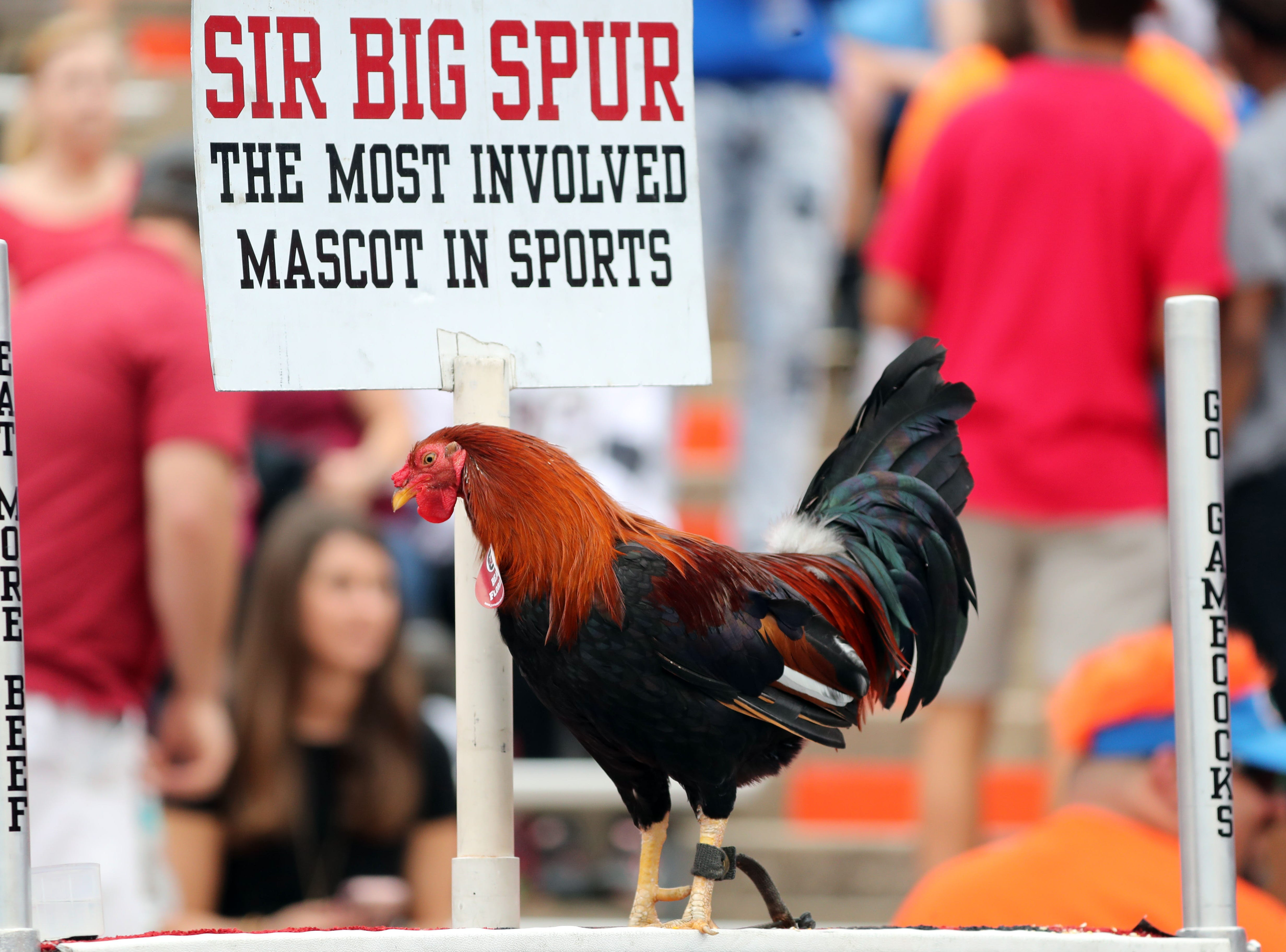 Week 11: South Carolina Gamecocks mascot, Sir Big Spur, is seen prior to a game against the Florida Gators at Ben Hill Griffin Stadium.