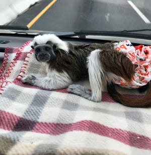 Willow, an Easley monkey, went missing Thursday on the way to a veterinary appointment in Morrisville, North Carolina.