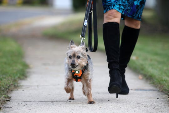 Marilyn and Peter Pianelli of Matawan, owners of Headlight Harness, display one of their dog harnesses on their dog, Mo, near their home in Matawan, NJ Monday, November 12, 2018.