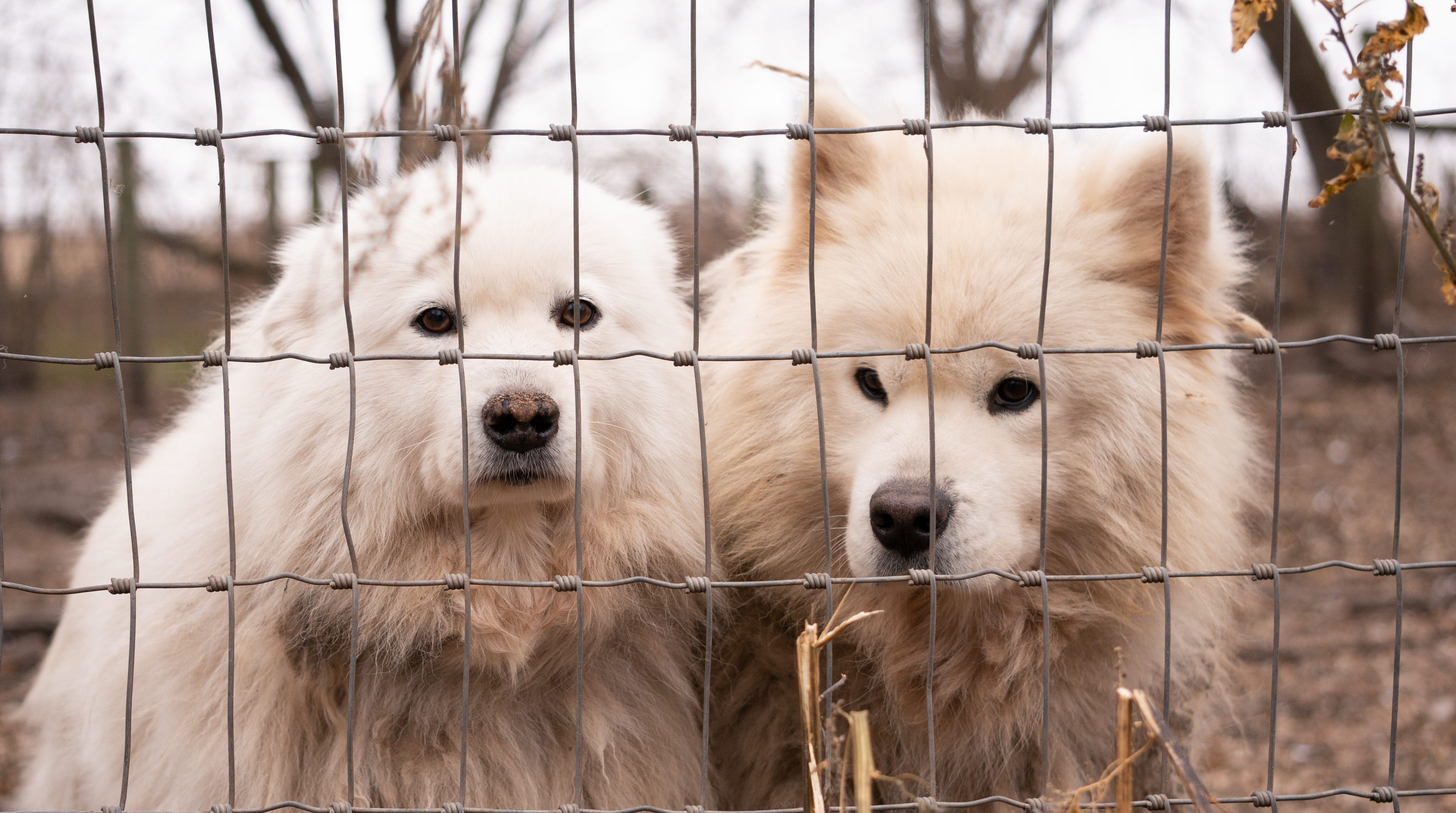 Nearly 170 Dogs All Samoyeds Rescued From Iowa Puppy Mill