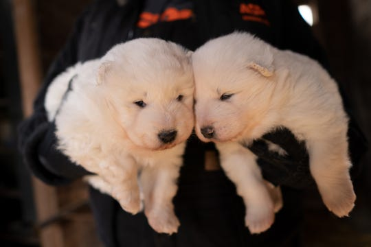"""Nearly 170 dogs were rescued Monday from a rural property in northern Iowa, after a monthslong investigation in Worth County. The dogs — all Samoyeds — were living in """"appalling and overcrowded conditions,"""" according to theASPCA."""