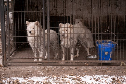"Nearly 170 dogs were rescued Monday from a rural property in northern Iowa, after a monthslong investigation in Worth County. The dogs — all Samoyeds — were living in ""appalling and overcrowded conditions,"" according to the ASPCA. Credit ASPCA/Special to the Register"