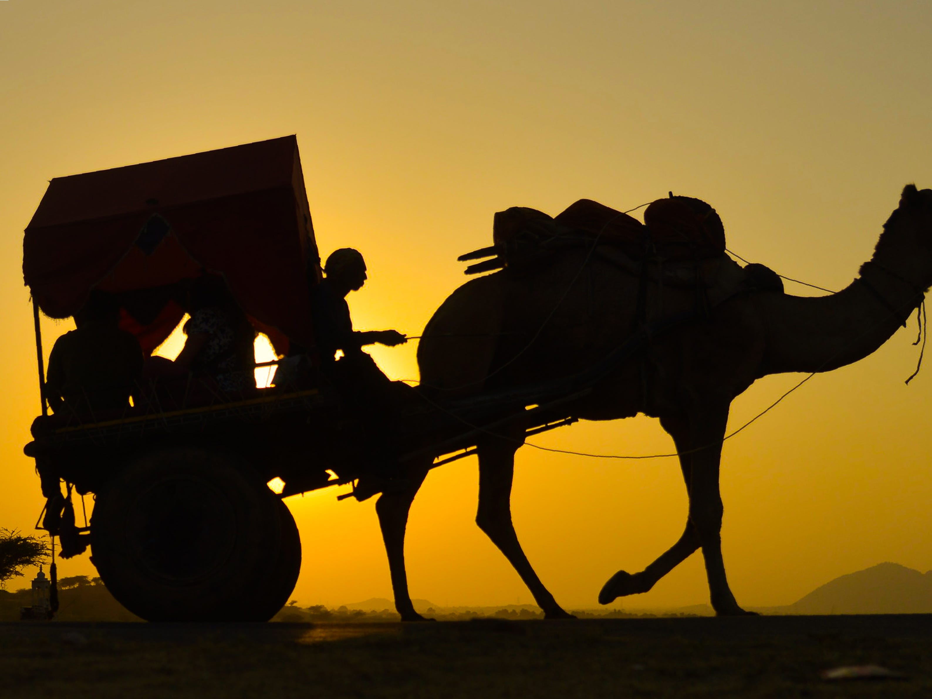 An Indian man rides on a camel cart during at the Pushkar Camel Fair in Pushkar, in the western state of Rajasthan on November 12, 2018. - Thousands of livestock traders from the region come to the traditional camel fair where livestock, mainly camels, are traded. The annual five-day camel and livestock fair is one of the world's largest camel fairs.