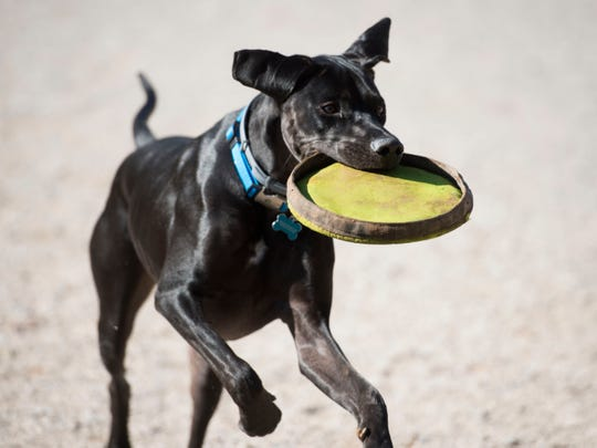 Riggs, a great Dane and Labrador mix, returns the frisbee to Nate Gibson while the two played at Concord Dog Park on Sunday, November 11, 2018.