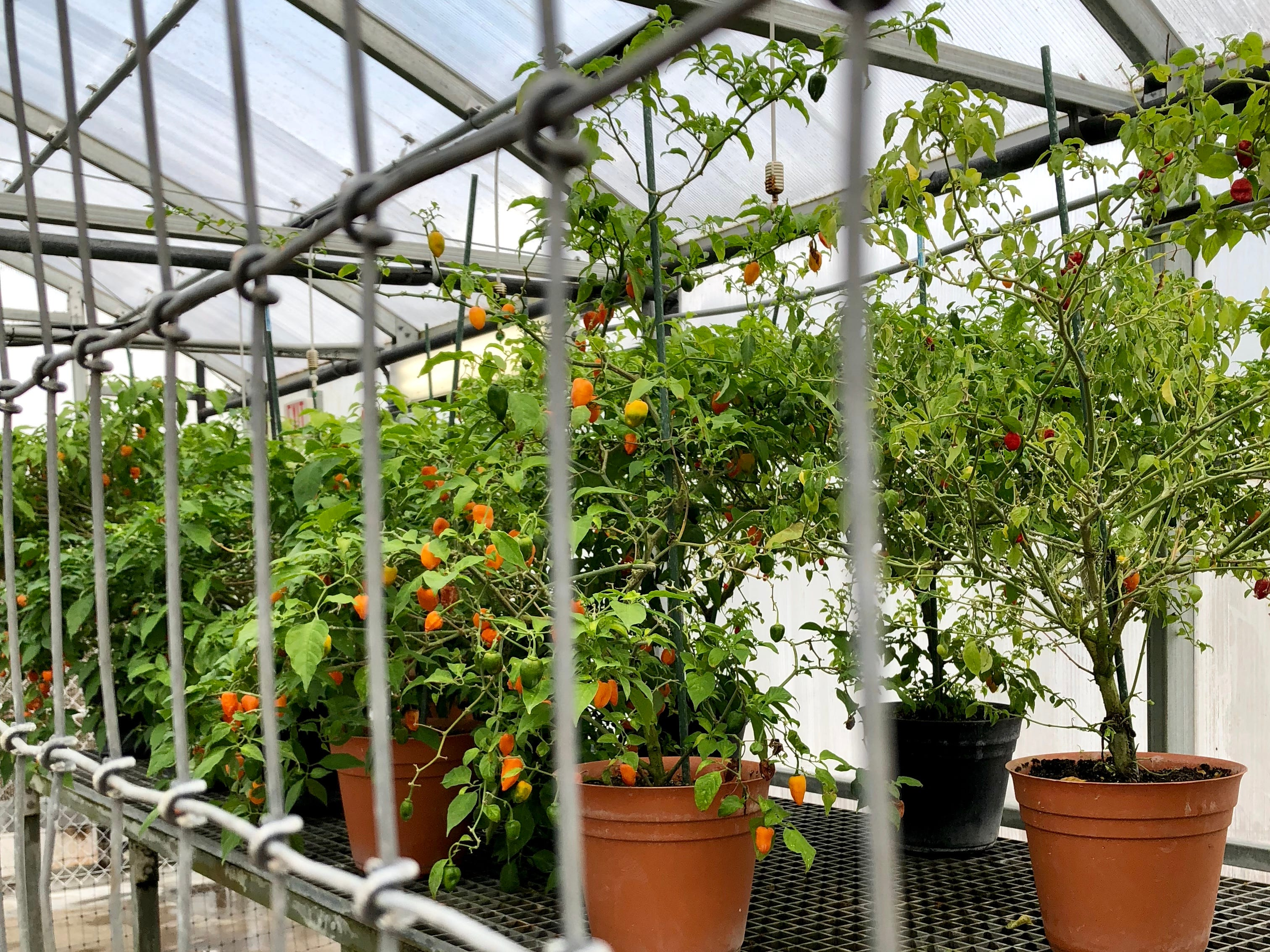 Peppers grow in a greenhouse on Avery Island to one day become part of Tabasco sauce.