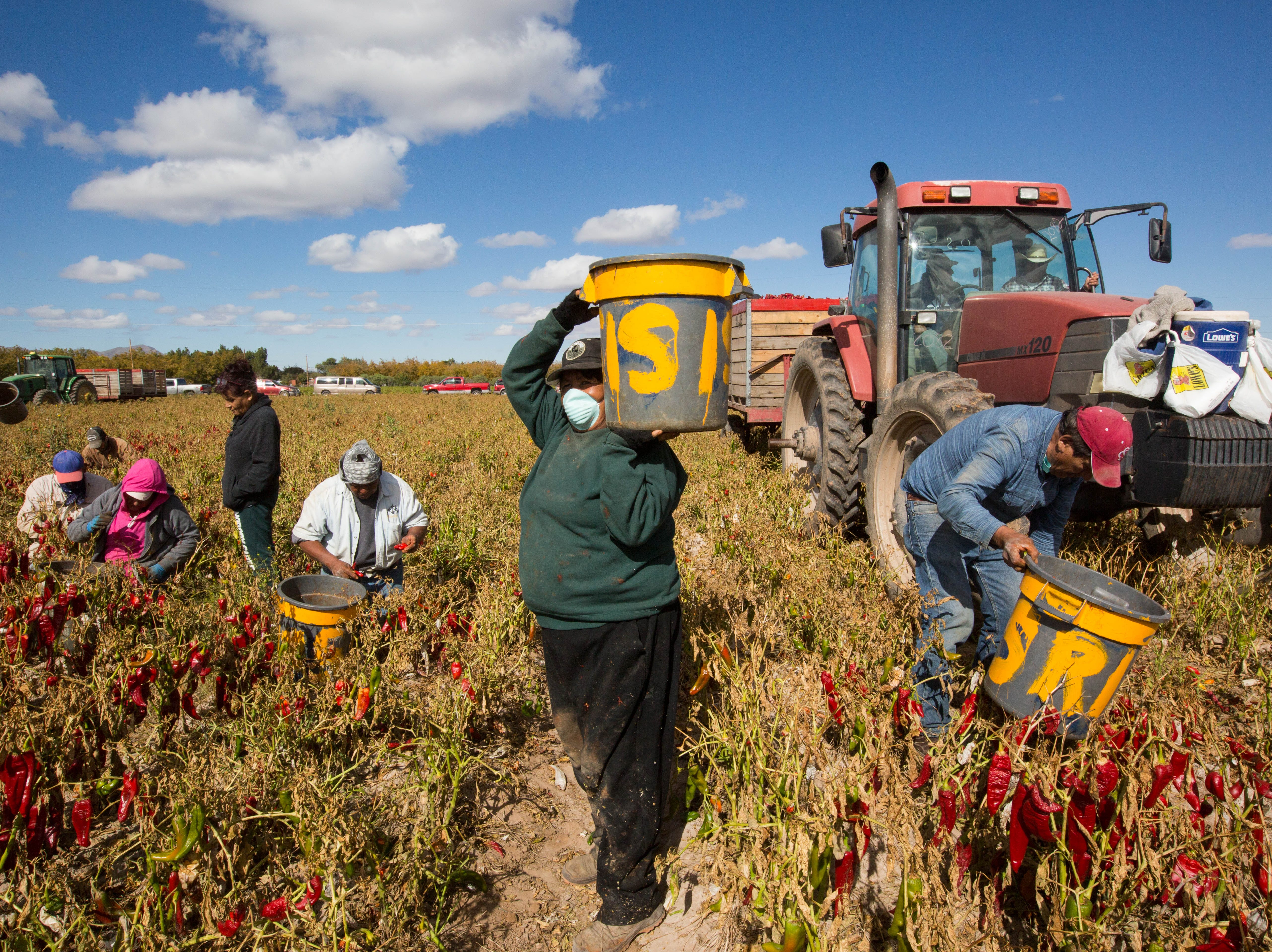 Farmworkers fill buckets with red chile in a field off of Doña Ana Road on Monday, Nov. 12, 2018. Harsh, cold weather was expected to prevent harvesting in the same field on Tuesday.