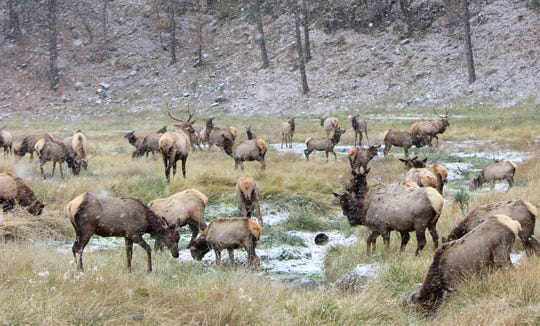 Over 50 elk scattered about an open field off of Warrior Drive as the snowfall came crashing down early morning on Nov.12.