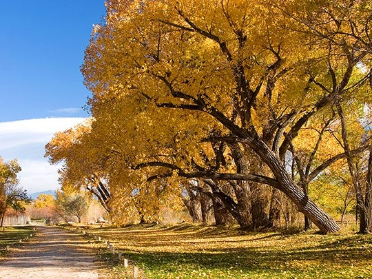 Cottonwoods add color and shade.