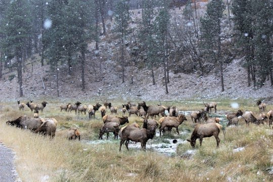 Some 50+ elk could be seen this morning off of Warrior Drive as the Village saw its first major snowfall of the season.