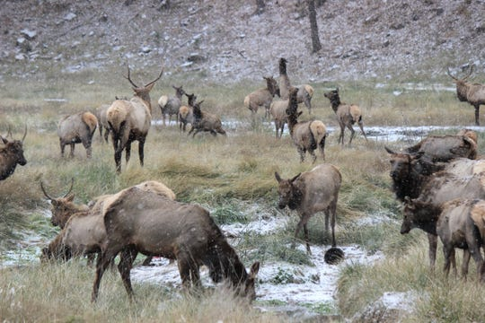 The bull elk keep a watchful eye out for the herd as the first major snowfall hits the Village and brings spectators to view.