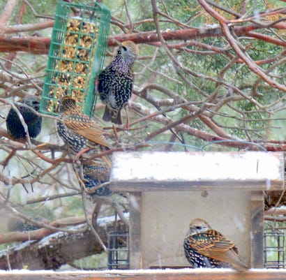 Winter Starlings
