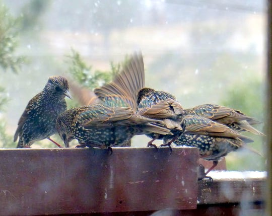 Starlings engage in their usual fight over food, heightened a bit by the cold and snow.