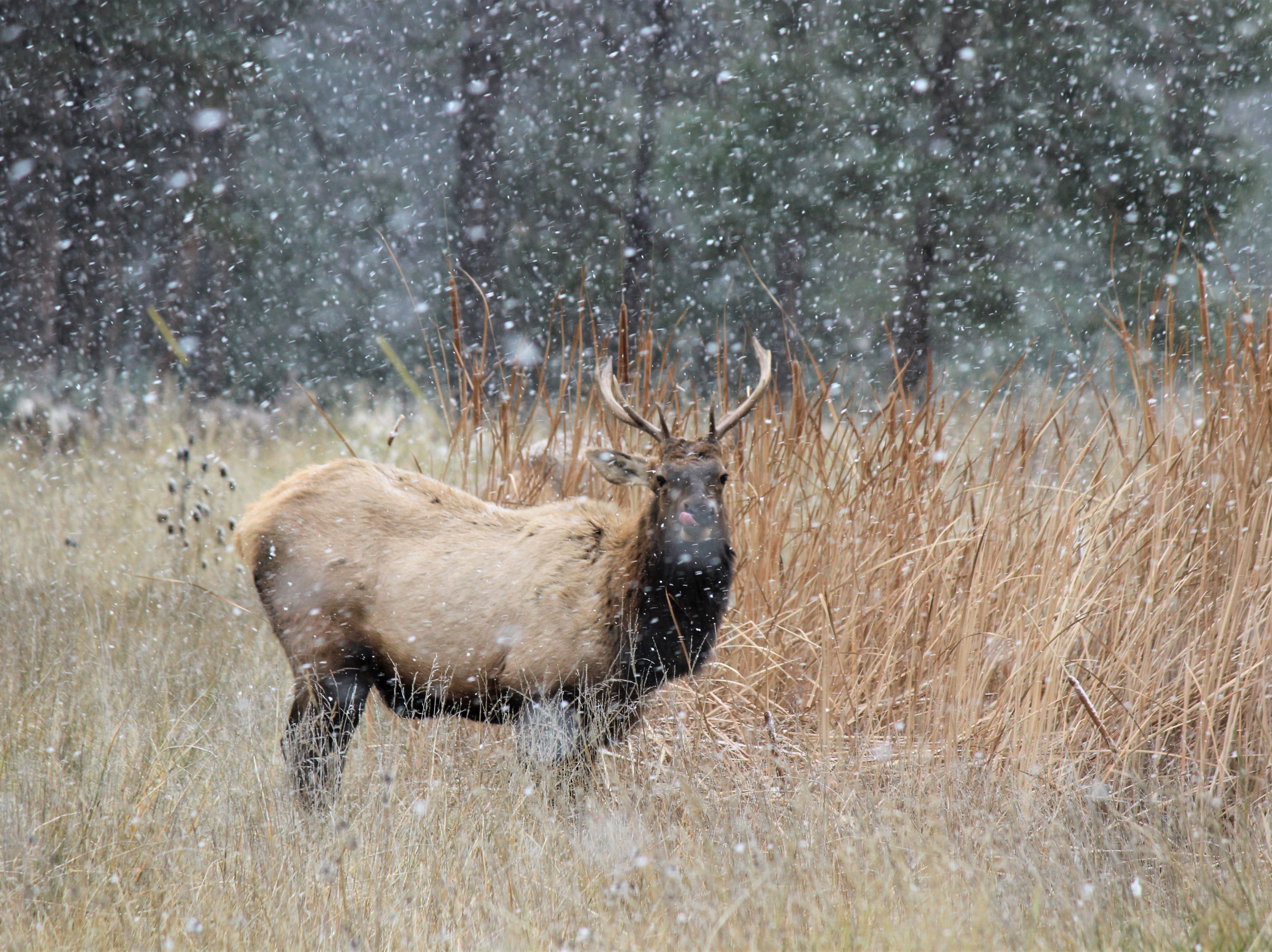 A proud bull stands strong in a field. He seems to be catching the snow on his tongue as the Village of Ruidoso saw its first major snowfall today.
