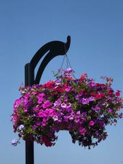 Two hundred hanging baskets brighten York streets in the spring and summer.
