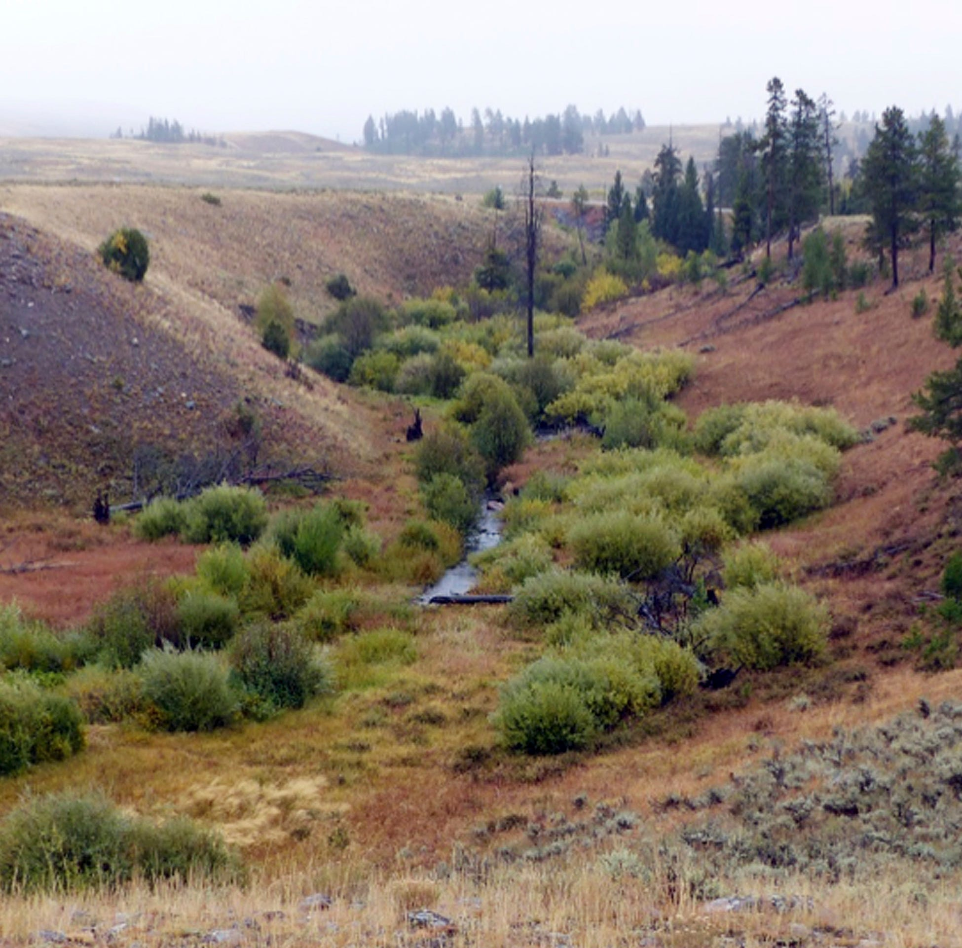 OSU study: Wolves, cougars return helps Yellowstone National Park streams by reducing elk