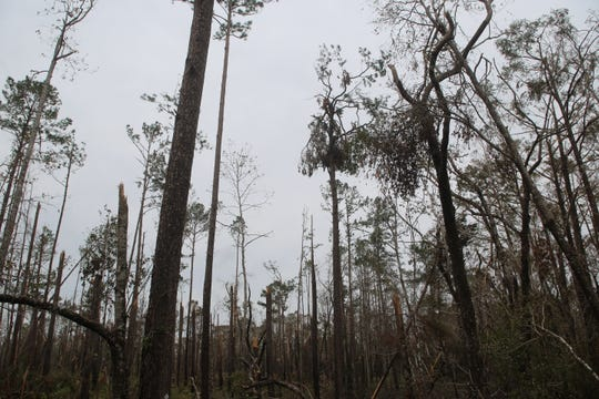 Hurricane Michael clear cut a lot of the Apalachicola National Forest surrounding Liberty County.