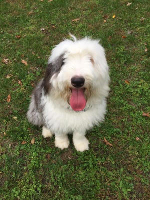 Benny is an Old English Sheepdog who's owners were overwhelmed by him. Now he needs a forever home.