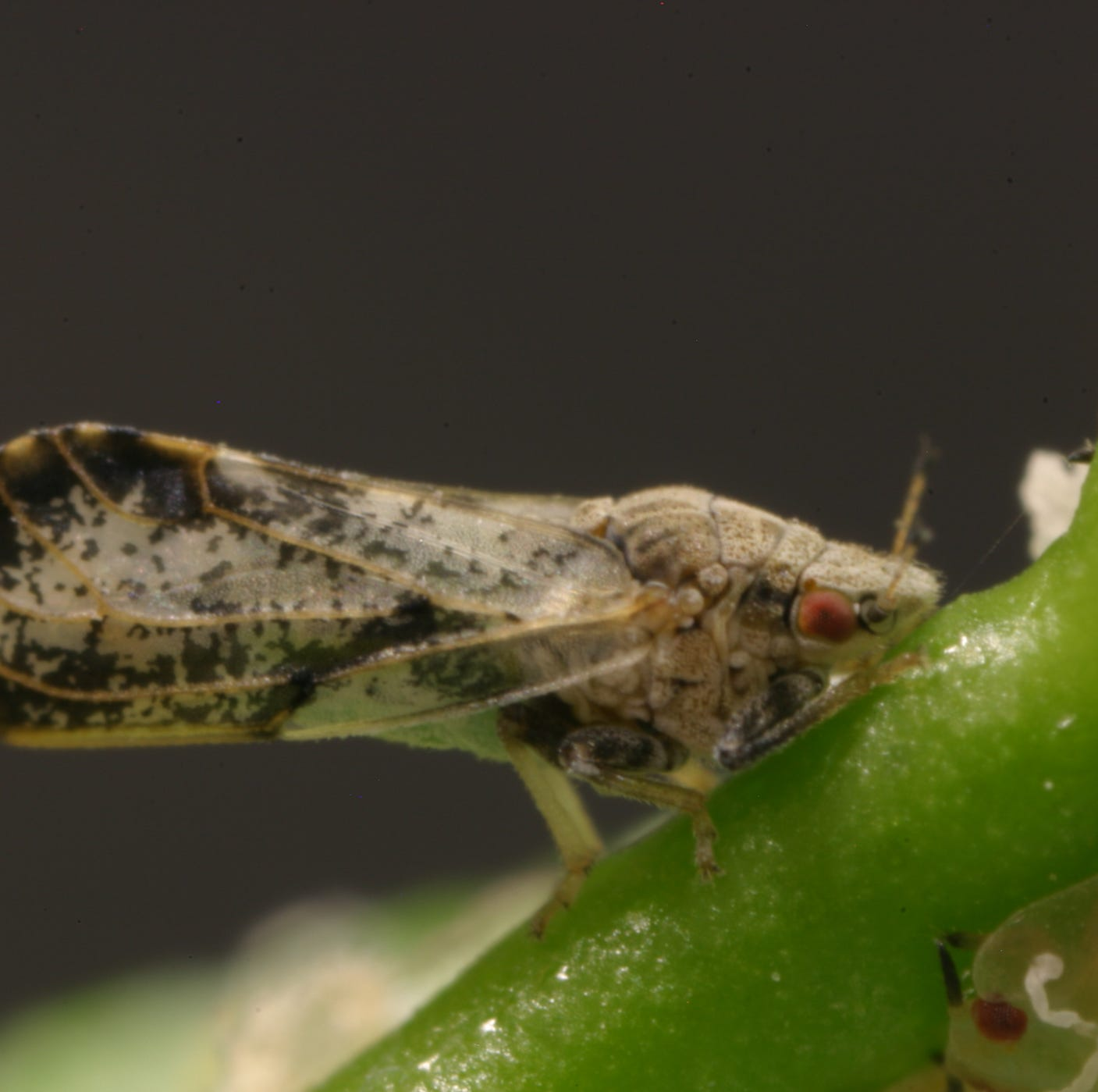 A scourge of insects could decimate Tulare County citrus, 250 psyllids found in Visalia