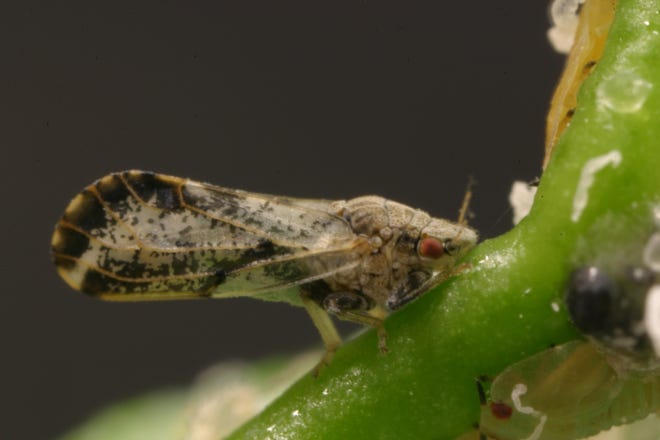 An adult Asian citrus psyllid is about the size of an Aphid but has the potential to decimate entire groves of citrus by transmitting citrus greening disease, an incurable infection that is fatal to citrus trees.