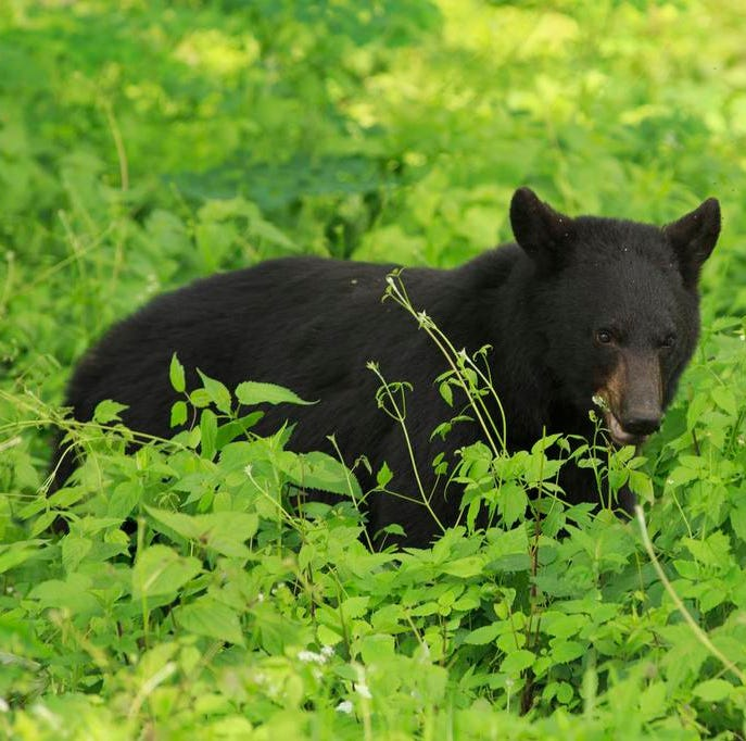 'It's unfortunate and unusual': Vehicle hits black bear on southern Indiana interstate