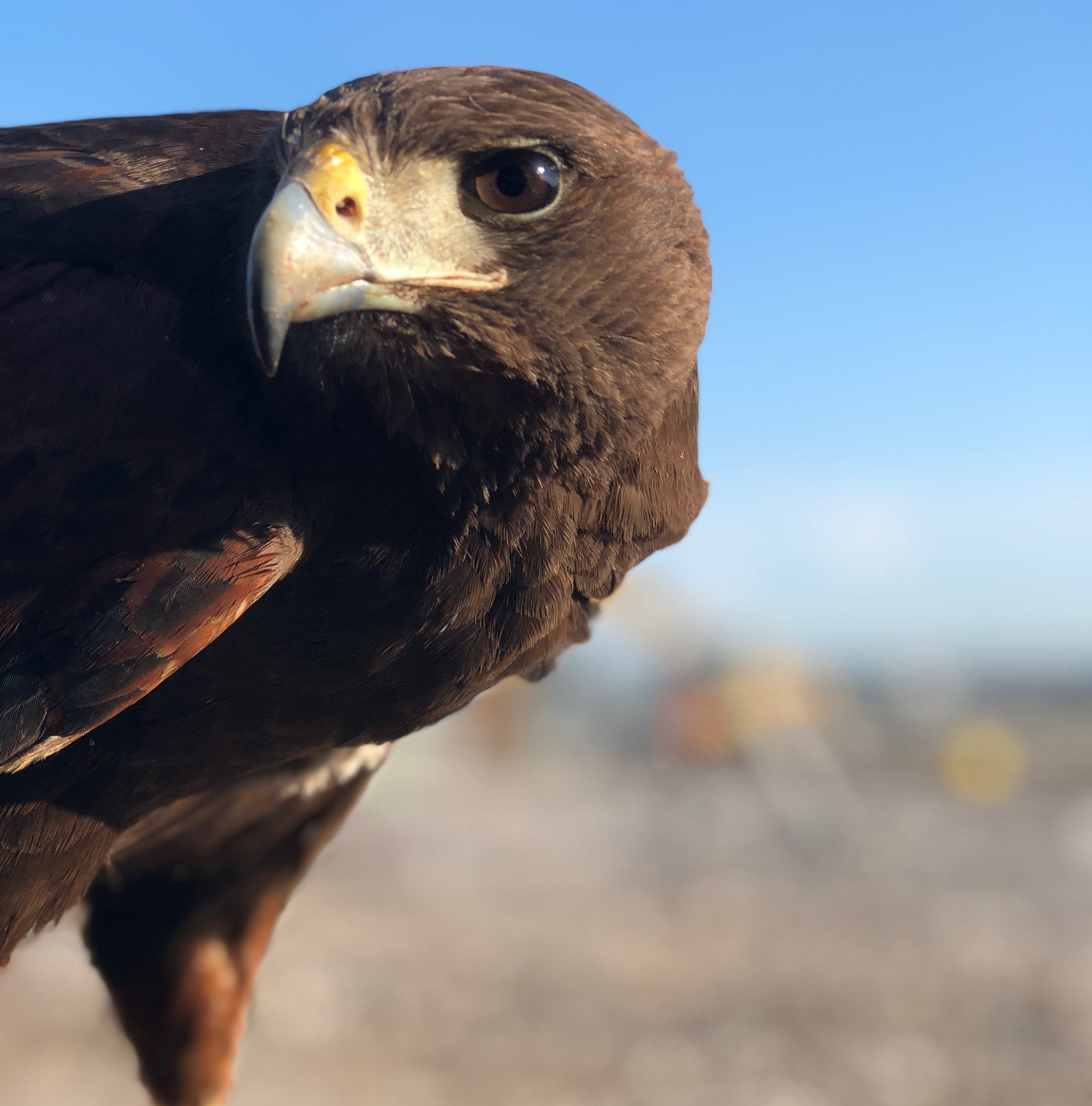 How do you chase pesky gulls from a landfill? Outagamie County experiments with a hawk