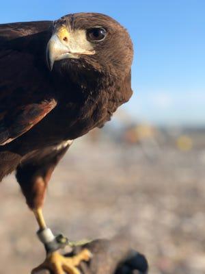 Predator Bird Services Inc. uses a Harris' hawk to chase away gulls.