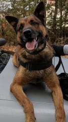 K-9 Kane is recovering from stab wounds during an encounter in Mantoloking on Monday.