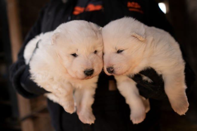 Nearly 170 Samoyeds were removed from a Worth County property this month. County officials executed a search warrant after a months-long investigation into the conditions at the commercial breeder.