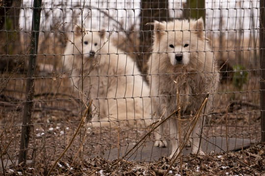 More than 150 Samoyeds were removed from a Worth County property, in Manly, in November. County officials executed a search warrant after a monthslong investigation into the conditions at the commercial breeder known as White Fire Kennel.