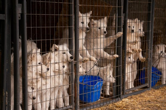 "Nearly 170 Samoyeds were rescued last month from what the ASPCA called a ""puppy mill"" in Worth County, Iowa. Authorities said kennels meant for one animal were overcrowded with eight or nine dogs."