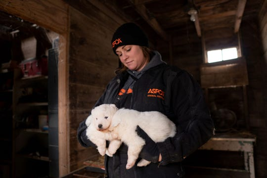 """Nearly 170 Samoyeds were removed from a Worth County property, in Manly, on Monday. County officials executed a search warrant after a monthslong investigation into the conditions at the commercial breeder. The ASPCA called it a """"puppy mill,"""" and said as many as eight or nine dogs were found in kennels meant for one dog. None were critically injured as of Monday, the ASPCA said."""