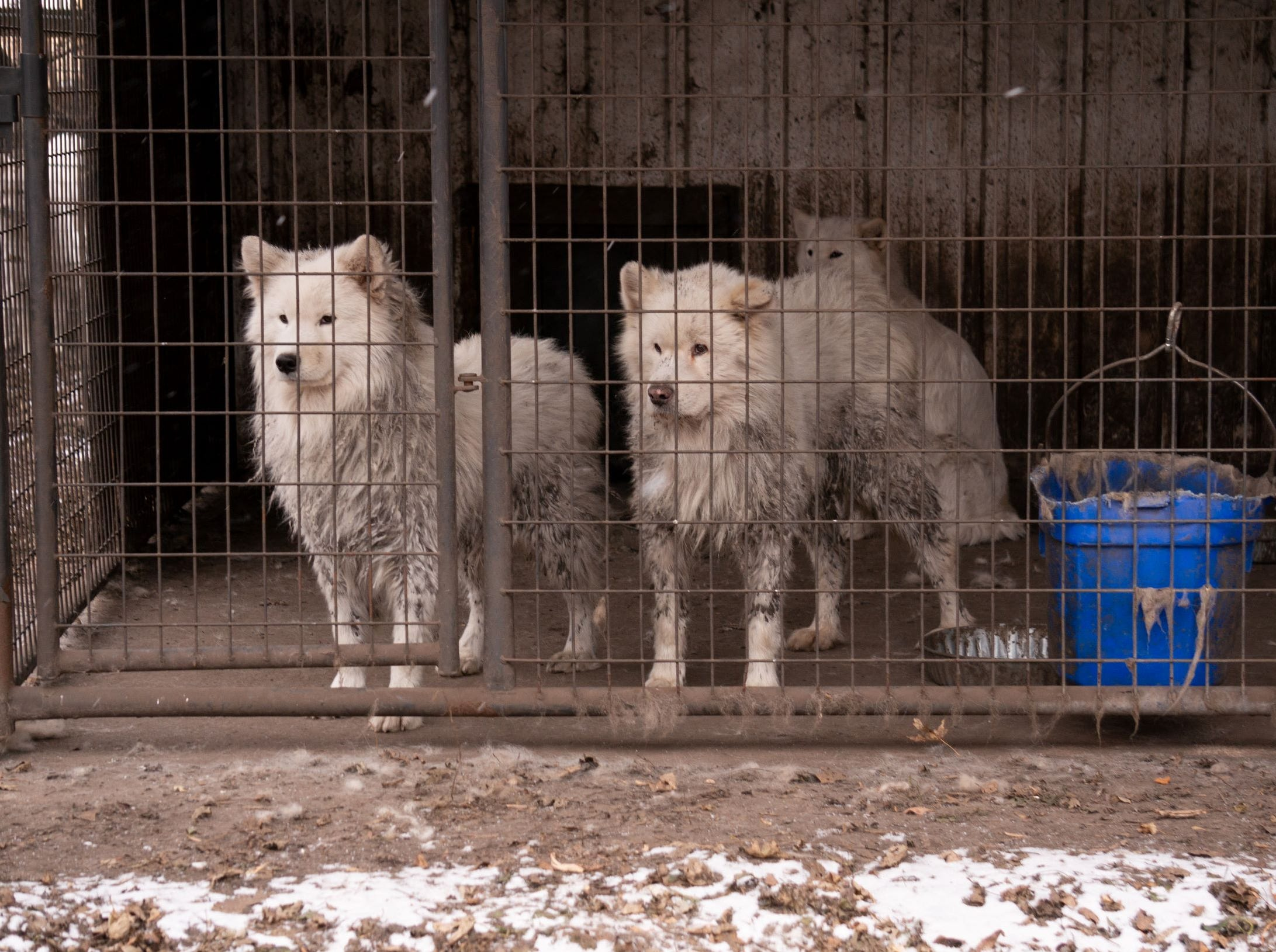 "Nearly 170 Samoyeds were removed from a Worth County property, in Manly, on Monday. County officials executed a search warrant after a monthslong investigation into the conditions at the commercial breeder. The ASPCA called it a ""puppy mill,"" and said as many as eight or nine dogs were found in kennels meant for one dog. None were critically injured as of Monday, the ASPCA said."
