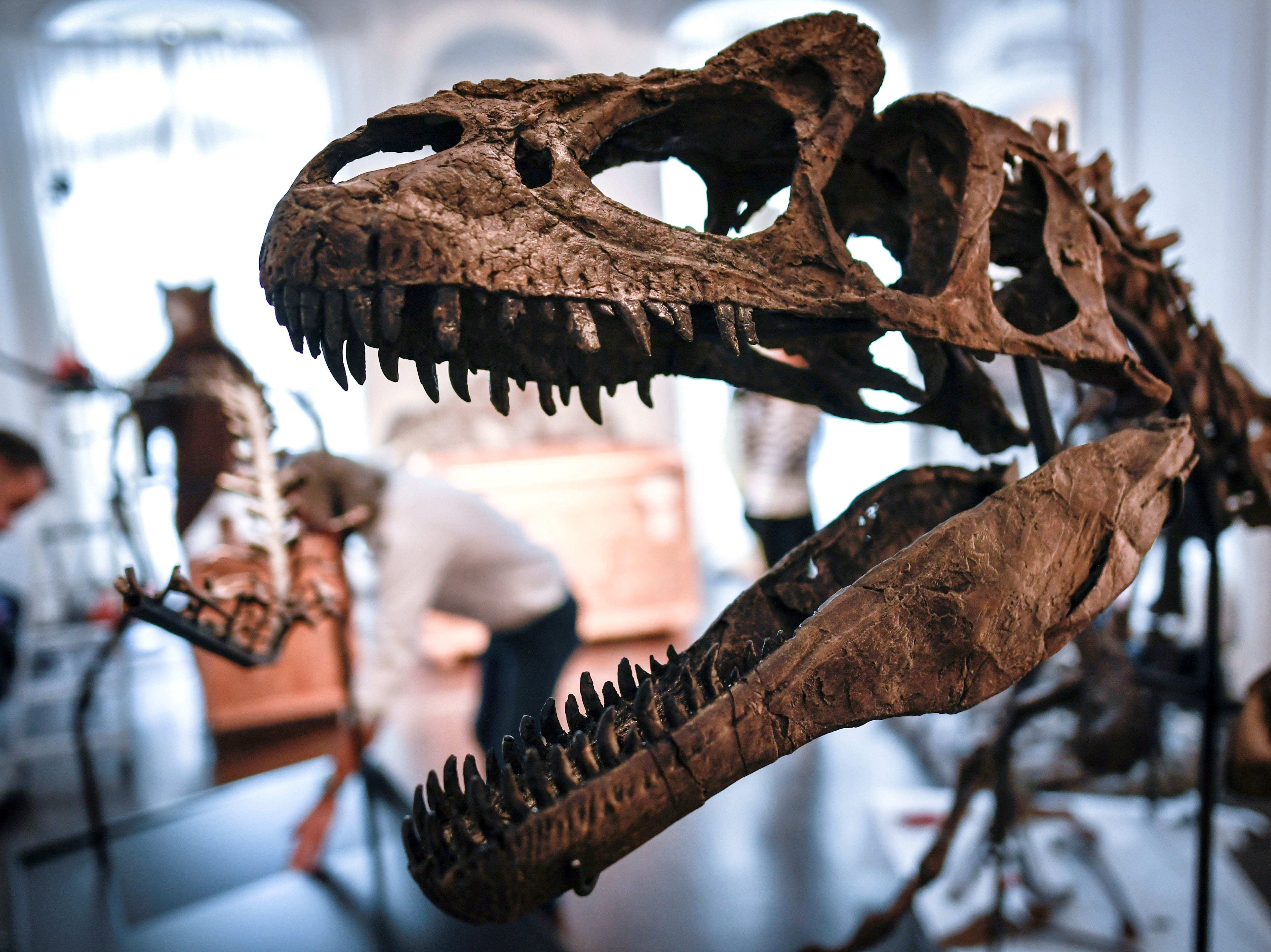 An Allosaurus skeleton is displayed on November 13, 2018, at the Artcurial auction house in Paris.