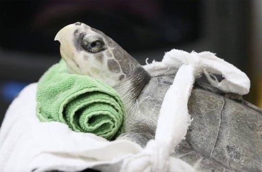 A juvenile Kemp's ridley turtle is nursed back to health in Gulfport, Mississippi.