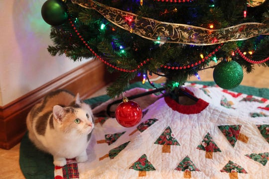 Izzy the cat keeps her eye on a shiny Christmas tree ornament.